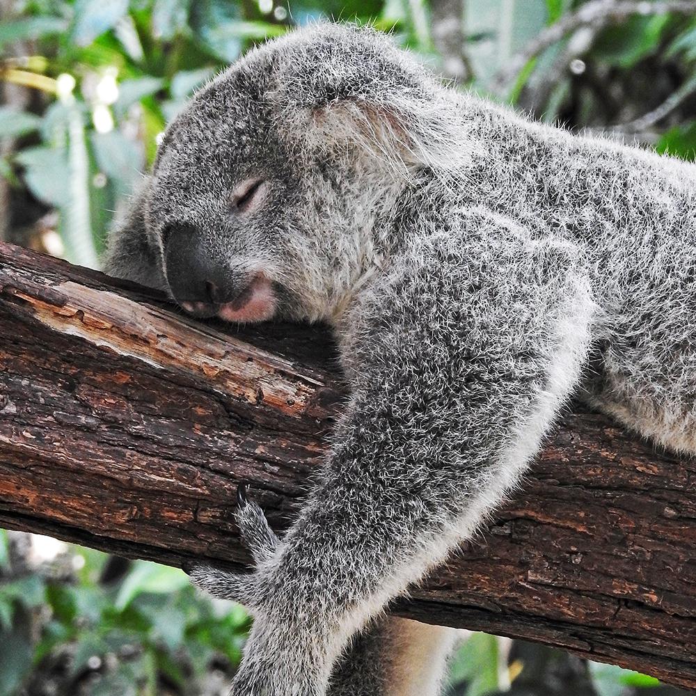 世界の選挙をのぞき見隊!ーオーストラリア編 コアラの画像